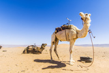 Draa Valley, Camel at Tinfou Photographic Print by  Maremagnum