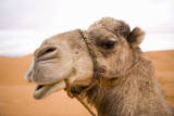 Portait of a North African Camel (Camelus Dromedarius) Morocco, North Africa Fotografisk tryk af Ben Queenborough