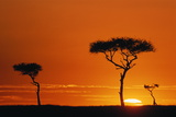 Acacia Trees Silhouetted in Orange Sunset, Kenya Photographic Print by Manoj Shah