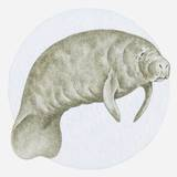 Illustration of a Manatee (Trichechus Sp.) Underwater Photographic Print by Dorling Kindersley