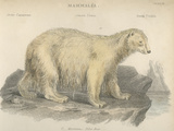 Polar Bear Photographic Print by Hulton Archive