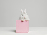 White Bunny Rabbit Wearing Tiara Sitting in Pink Box, Studio Shot Photographic Print by Roger Wright