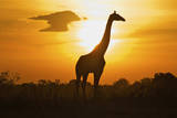 Silhouette Giraffe at Sunset Photographic Print by Joost Notten