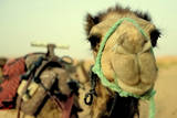 Camel in Morocco Photographic Print by Jon Bauer