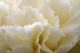 Cream Coloured Carnation, Close-Up Photographic Print by Roel Meijer