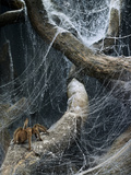 Tarantula Crawling up a Log Covered in Webs Photographic Print by Michael Blann