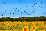 Ravens Flying over Sunflowers Photographic Print by Grant Faint