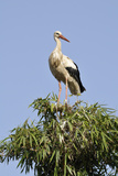 White Stork in Tree Top, Chellah, Morocco Photographic Print by Jean-Christophe Riou