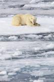 Polar Bear on Sea Ice Photographic Print by Anna Henly