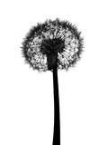 Silhouette of Dandelion Fotografisk tryk af Brand New Images