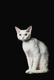 Devon Rex Cat Photographic Print by  ULTRA.F