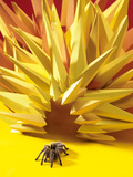 Tarantula Coming out of a Paper Starburst Photographic Print by Michael Blann