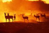 Springboks (Antidorcas Marsupialis) at Sunset, South Africa Fotografisk tryk af J. Sneesby/B. Wilkins