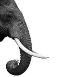 Elephant Fotografisk tryk af Daniel Pupius