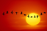 GEESE SILHOUETTED IN FLIGHT ACROSS SUN Photographic Print by Mitchell Funk