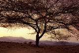 Acacia Thorn Tree at Dawn with Mathews Mountains Photographic Print by Harry Hook