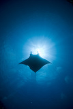 Manta Swimming Underwater, Low Angle View Photographic Print by Yusuke Okada/a.collectionRF
