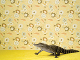 Alligator Mississippians on Background with Flower Pattern, Studio Shot Photographic Print by Catherine Ledner