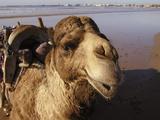 Camel Photographic Print by Markus Amon