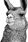 Llama Fotografisk tryk af Drawings & Artwork by Karl Addison