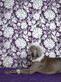 Weimaraner (Canis Lupus Familiaris) on Purple. Photographic Print by Catherine Ledner