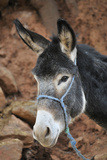 Portrait of Donkey, Ourika Valley, Atlas Mountains, Morocco Photographic Print by Raimund Linke