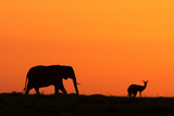 Elephant at Dawn Photographic Print by Manoj Shah