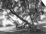 Olive Trees (Olea Europea), Tivoli Posters