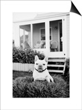 French Bulldog Southampton NY Posters by Theo Westenberger