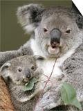 An 8-Month-Old Koala Joey Prints