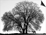 A Pair of Horses Stake out Spots Under the Young Leaves of a Shade Tree Near Sparta Prints