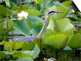 A Great Blue Heron Walks Through a Patch of Lotus Flowers Prints