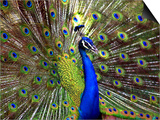 A Peacock Spreads its Feathers at the Alipore Zoo Prints