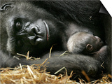 Western Lowland Gorilla, Cradles Her 3-Day Old Baby at the Franklin Park Zoo in Boston Posters