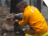 Firefighter Shares His Water an Injured Australian Koala after Wildfires Swept Through the Region Art