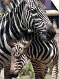 A Male Baby Zebra Named Roger Posters