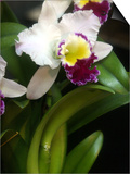 The Cattleya Orchid Prints by Bebeto Matthews