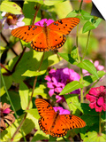Pair of Passion Butterflies Perch on Flowers at a Houston Park Posters