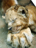 Lion Cub Lays His Head on the Paw of His Mother at Prigen Safari Park in Pasuruan, Indonesia Prints
