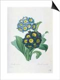 Primula Auricula Prints by Pierre-Joseph Redouté