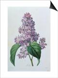 Lilacs Art by Pierre-Joseph Redouté