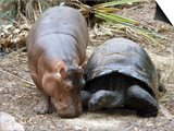 Baby Hippo Walks Along with its 'Mother', a Giant Male Aldabran Tortoise, at Mombasa Haller Park Prints