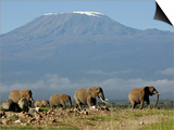 Elephants Backdropped by Mt. Kilimanjaro, Amboseli, Kenya Prints by Karel Prinsloo