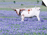 Longhorn Grazing on Bluebonnets, Midlothian, Texas Print by Pat Sullivan