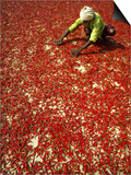 Villager Dries Red Chilies at Rambha, India Posters