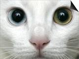 APTOPIX Turkey Bird Flu Van Cat Posters by Pier Paolo Cito