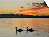 Two Swans Glide across Lake Chiemsee at Sunset near Seebruck, Germany Print by Diether Endlicher