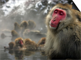 Japanese Macaque Monkeys in a Hot Spring in the Snow at Jigokudani Wild Monkey Park, Nagano Poster