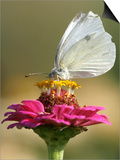Butterfly Sits in the Bloom of a Flower (Zinnia Elegans) Posters