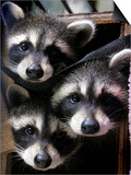 Three Young Raccoons Peer out of Their Nest at the Florida Wild Mammal Association Posters